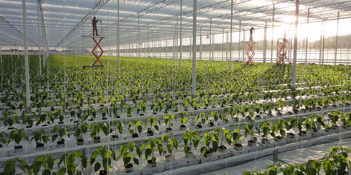 drip irrigation, greenhouse