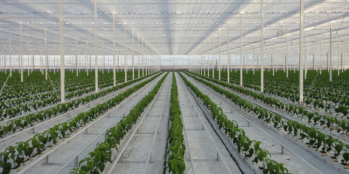 drip irrigation, greenhouse, peppers