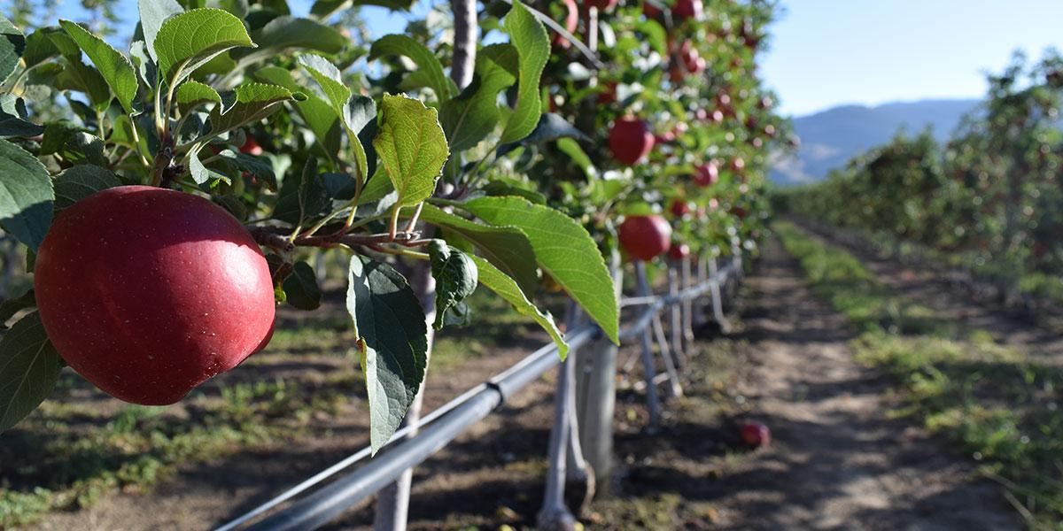 drip irrigation, apple orchard